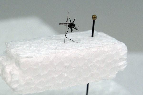 El Aedes aegypti, portador del dengue, es una de las principales amenazas de salud pública para las Islas. / DA