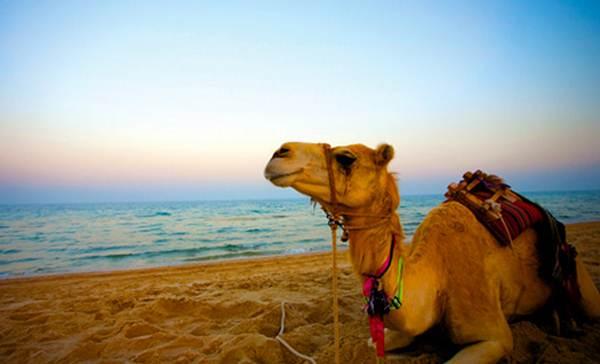 Un dromedario en una playa de Agadir. | DA
