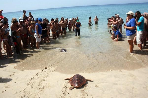 Suelta en Fuerteventura de una tortuga boba, especie amenazada. / DA
