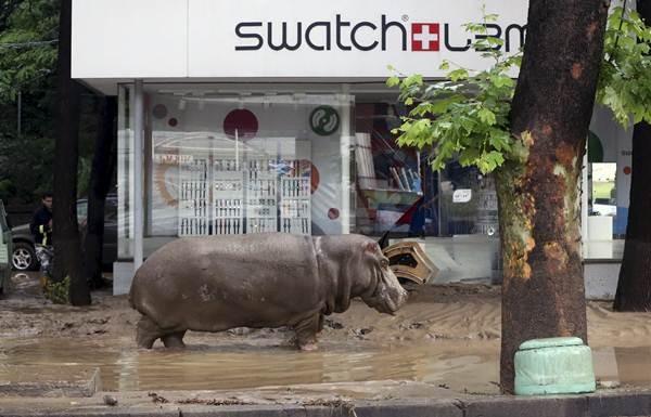 Un hipopótamo camina por las calles inundadas de Tbilisi. | REUTERS