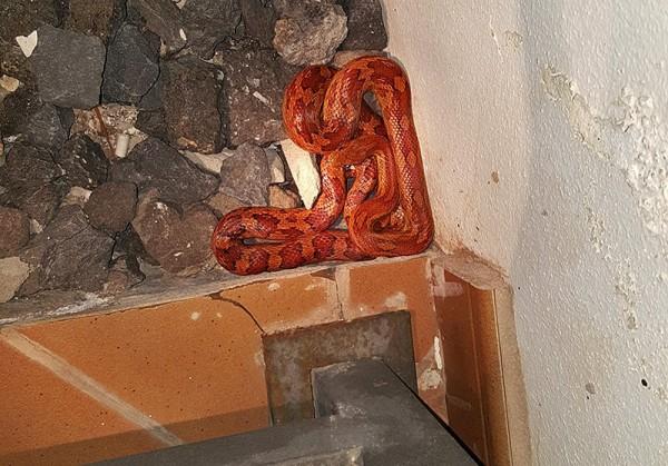 La culebra mide unos 80 centímetros y se encuentra actualmente en las instalaciones de cuarentena de la Fundación.  / FUNDACIÓN NEOTRÓPICA
