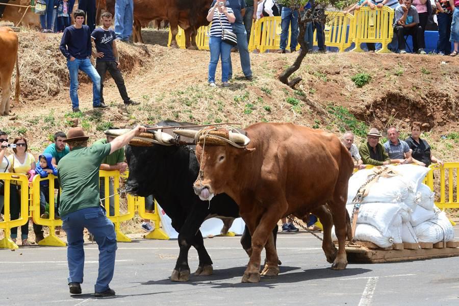 José Antonio Melián Gil en acción llamando a sus Toros en la jornada de ayer.   SERGIO MÉNDEZ