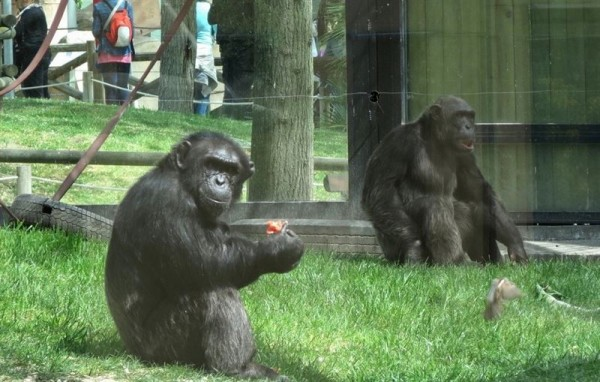 Chimpances en un zoo.   CEDIDA