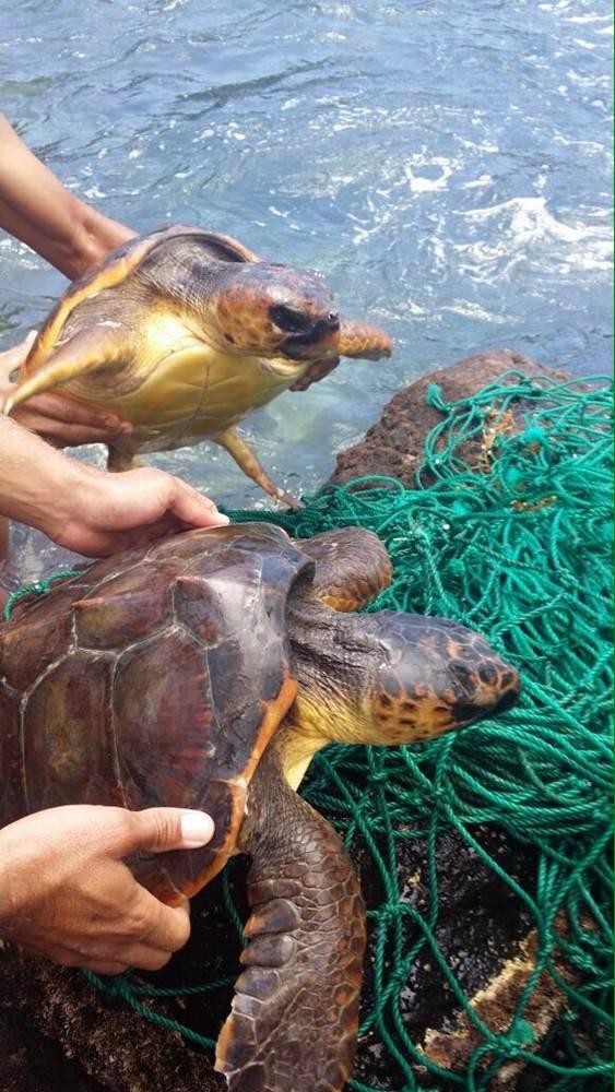 tortugas rescatadas en Tejina 8 ok