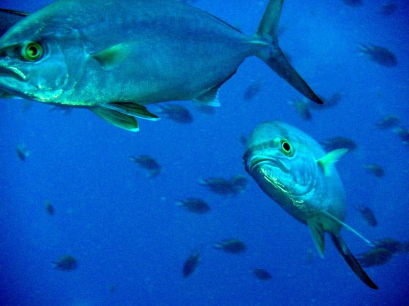 La mayoría de los afectados consumió medregal infectado y pescado en aguas próximas a Canarias. / DA