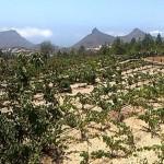 Las cepas se encuentran a más de 1.300 metros de altitud, en una extensión de 12 hectáreas. | NORCHI