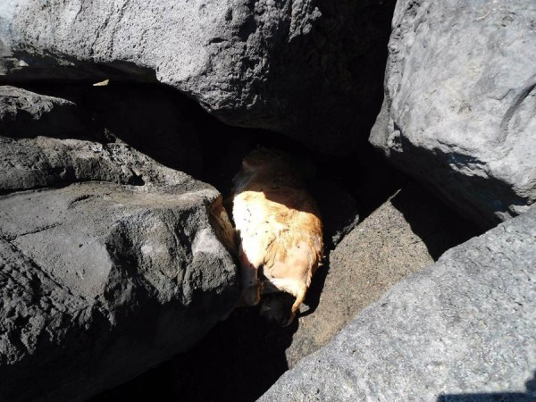 Imagen del cadáver de la cabra.   DA