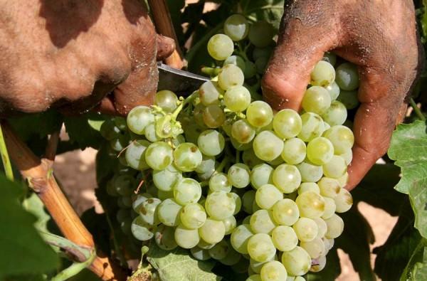 La recogida de la uva ha comenzado ya en algunas comarcas de la isla de Tenerife y se prolongará hasta el próximo mes. | DA