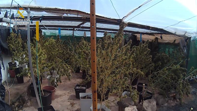 INCAUTADAS 530 PLANTAS MARIHUANA FUERTEVENTURA