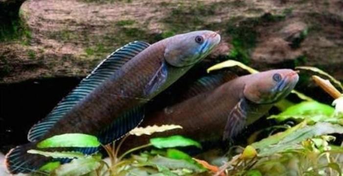 Descubren en el Himalaya un pez que camina y un mono que estornuda