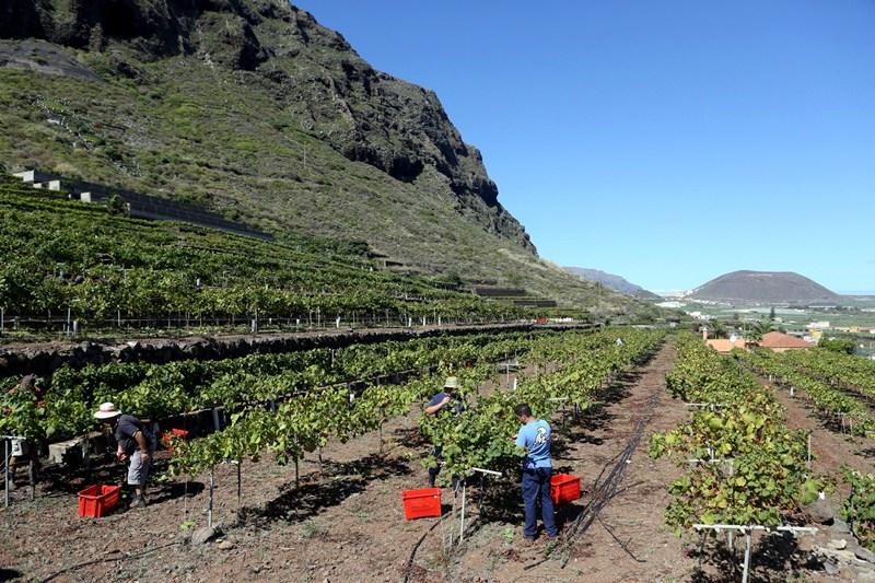 Imagen de la cosecha de este año en viñedos del municipio de Garachico. / DA