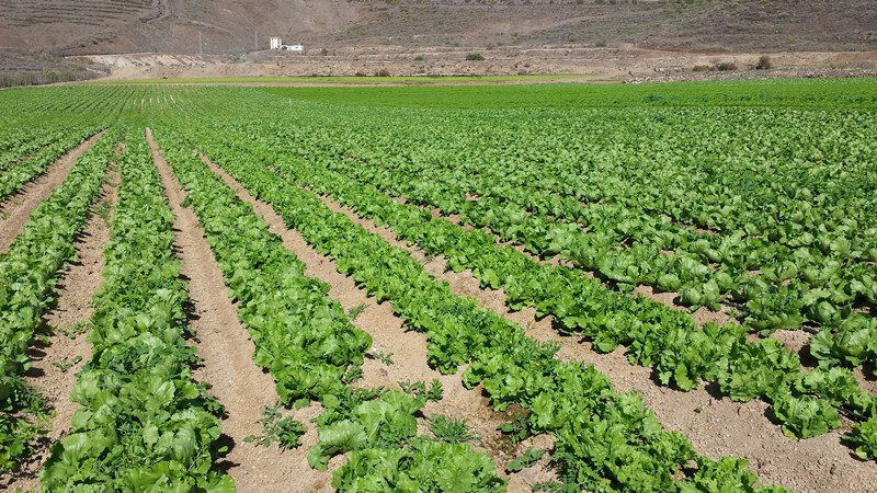 Plantación de lechugas en San Miguel de Abona. / J.C.M.