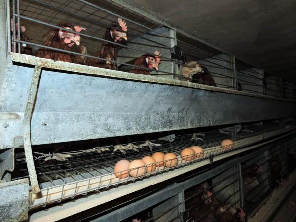 Las gallinas se encuentran en un habitáculo adaptado a la normativa europea. | NORCHI