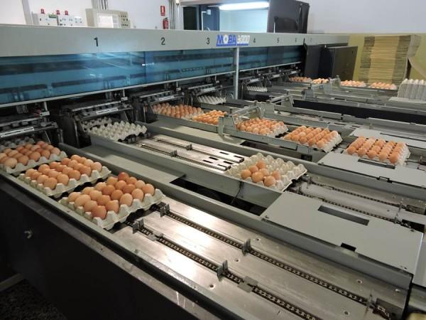 El proceso hasta que llegan los huevos al cartón es automático. | N. C.