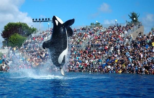 Parte de un espectáculo de orcas en SeaWorld. | CEDIDA