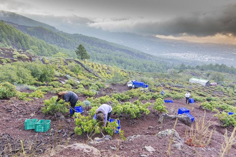 El Rebusco saca casi 30.000 kilos de uvas de los viñedos de Las Dehesas, en Güímar, y de Araya, en tierras de secano donde el sol tarda en ponerse. / DA