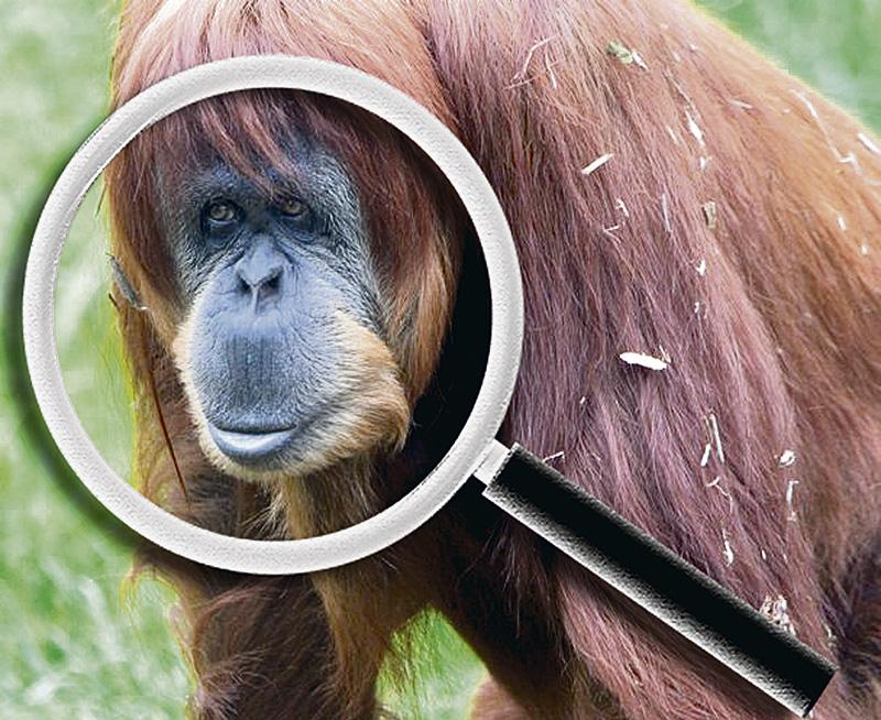 orangutanes colorados 1
