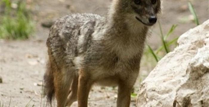Primer caso de hibridación entre perro y zorro