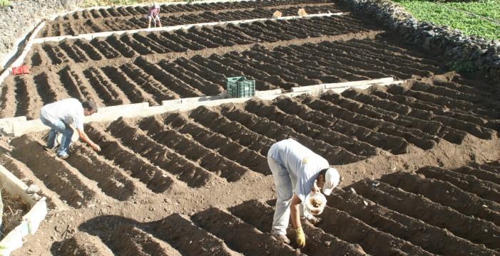 La cosecha de papas en Canarias caerá hasta un 60% si continúa la sequía