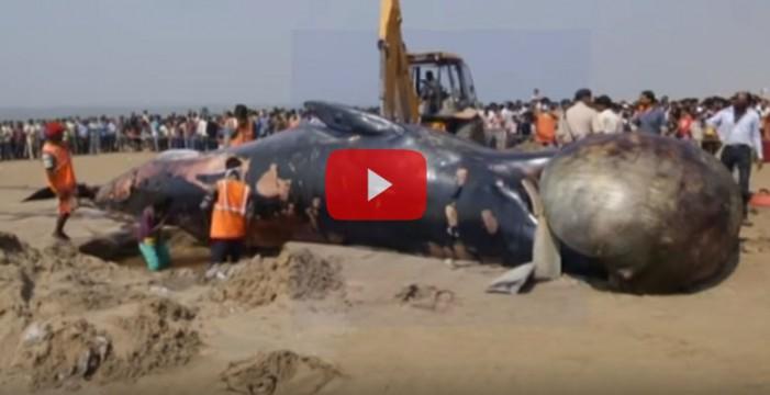 Una ballena de 10 metros aparece muerta en una playa de Bombay