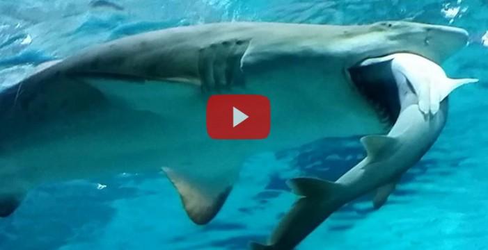 Una hembra de tiburón tigre engulle a otro tiburón en un acuario de Seúl