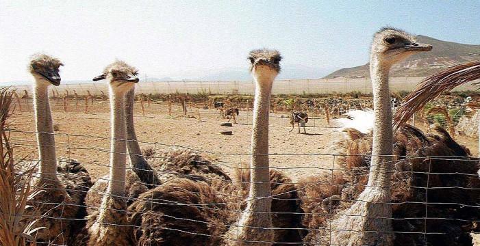 Adiós al negocio de las avestruces