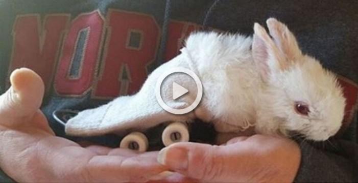 Un bebe conejo con parálisis se mueve usando un skateboard