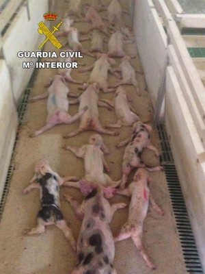 Lechones sacrificados. / EUROPA  PRESS/ GUARDIA CIVIL