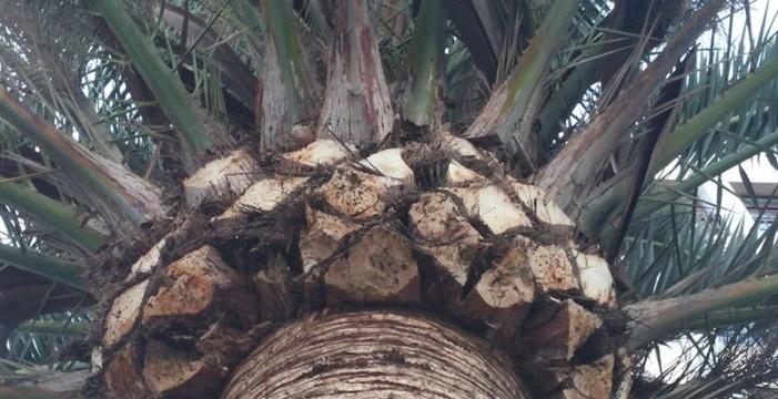 Una sustancia química del picudín de la palmera permitirá luchar contra esta plaga