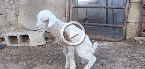 ¿Todavía no conoces a Chira, la oveja-cabra de Lanzarote?